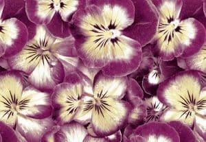 Фотопечать на натяжных потолках фиолетовые цветы